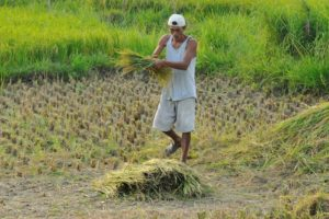 A Vietnamese man is working in the fields, collecting grass