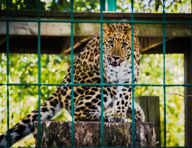 Leopard in the cage, picture taken in the zoo